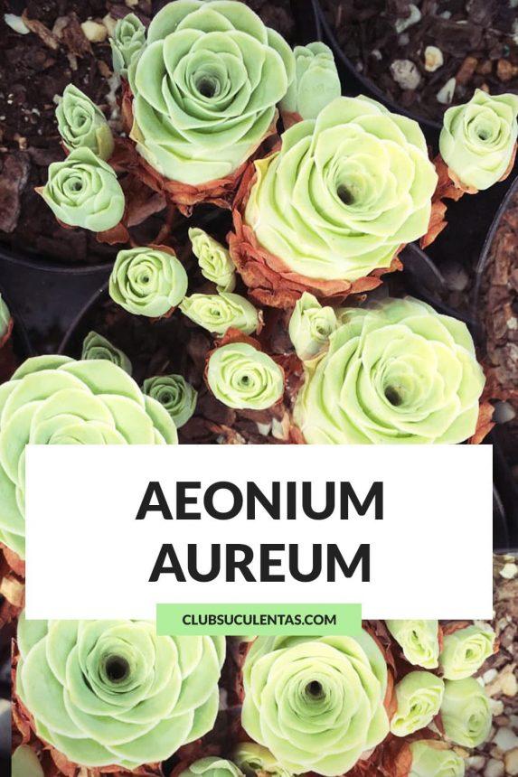 aeonium aureum suculentas