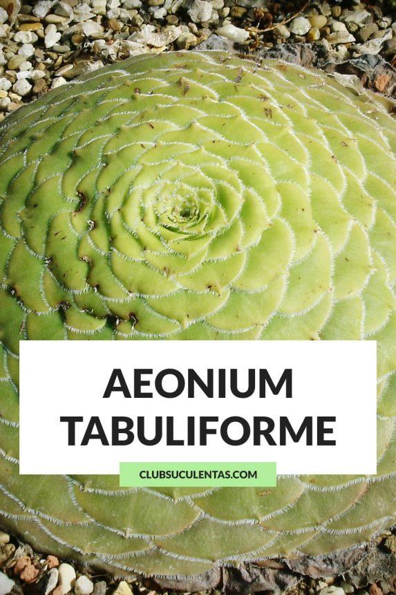 aeonium tabuliforme suculentas