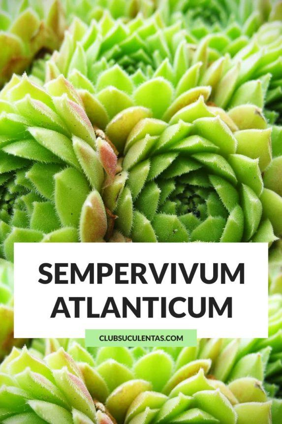 Sempervivum atlanticum